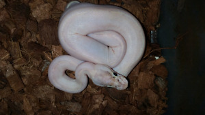 BALL PYTHONS SALE - adults and hatchlings