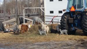 Bottle babies (goats ) for sale
