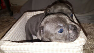 Registered Blue French Bulldog Puppies