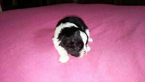 Beautiful Shorkie-poo Puppies for Sale