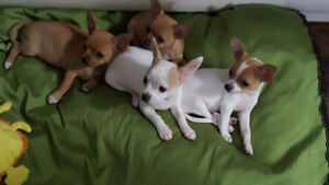 Puppies/chiot