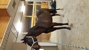 2005 Warmblood Built Thoroughbred Mare