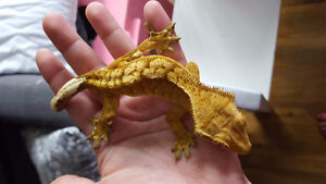 Male Crested Geckos for Sale! Both 1 year old