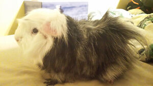 Hi my name's Ted I'm a guinea pig and looking for a good home
