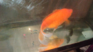 "9"" goldfish and 7"" pleco and 3 convict cichlids 3-4"""