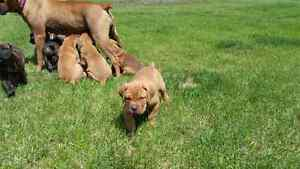 Mastiff puppies for sale to the right home