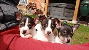 Taco Terrier Puppies