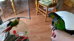 Pineapple Conure for rehoming