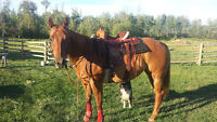 Gorgeous10 Yr old Quarter Horse Mare