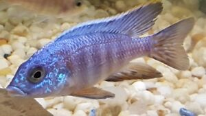 Cichlid - Adult Turkis Group