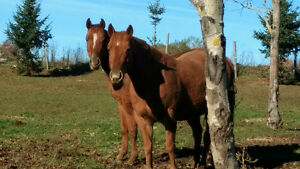 Mare and her three year old colt
