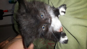 Adorable black and white or all black kittens for sale