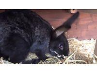 Giant Flemish rabbit