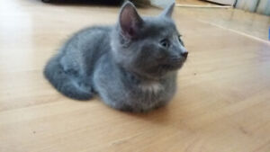Grey Kitten and Mixed Colour Cat looking for homes