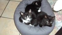 7 beautiful kitten for sale / 7 beaux chatons a vendre
