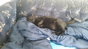 Sweet, loving, smart cat looking for a forever home! Prince George British Columbia image 5