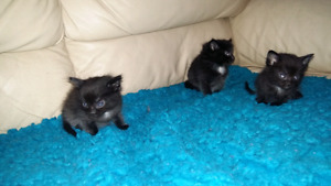 Russian blue and tabby mix kittens & cats