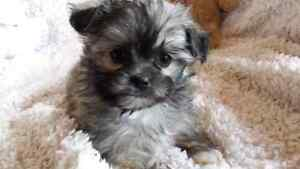 SHORKIE PUPPIES FOR SALE (SHIH TZU X YORKSHIRE TERRIER)