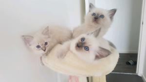 Purebreed Ragdoll Kittens