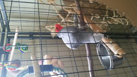 African Grey needs forever home. 2200.00 OBO