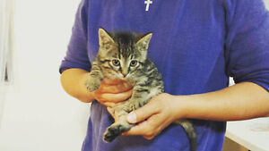 Adorable 4 baby kittens (cats) for sale