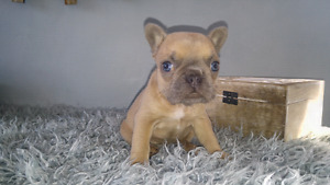 Amazing French Bulldogs Puppy CKC Registered