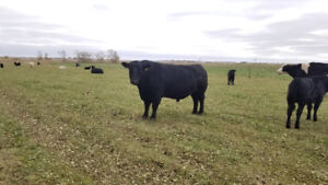 4 1/2 year old tested well woking Angus Bull for sale
