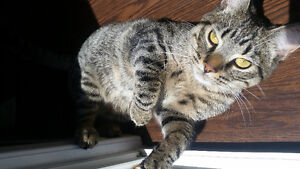 Grey and Brown Tabby