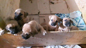 Black Mouth Curr pups