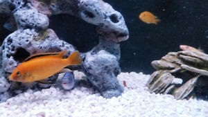 Yellow lab cichlid for sale