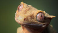 Beautiful Crested Gecko, with tail - Exo terra terarrium