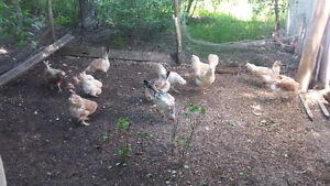 Chickens (layers) for sale