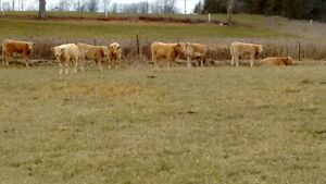 Limo cows w/ CharX calves by side Peterborough Peterborough Area image 1