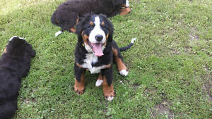 Adorable Purebred CKC Registered Bernese Mountain Puppies