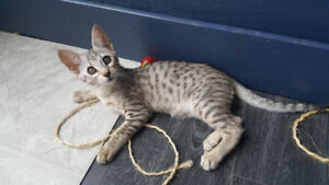 Silver Female F6 Savannah Kitten cat available similar to Bengal