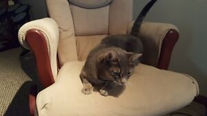 Free to a good home approx 1 Year Old Female Cat Declawed Spayed