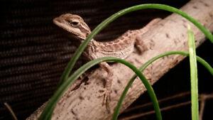 Bébé pogona ( dragon barbu juvenile )