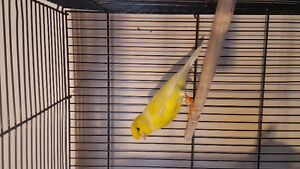Canaries finches budgies cockatiel