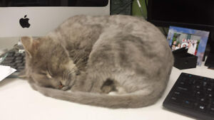 Shaved Grey Cat found Near Avenue des Pins and Rue Universite