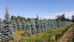 All varieties of trees - spruces, maples, pines, direct fromfarm