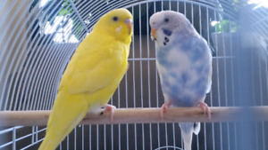 2 bright budgies with cage and food