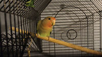 Two months old Lovebird