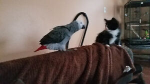 PLEASE HELP SEARCH FOR LOST AFRICAN GREY *REWARD*