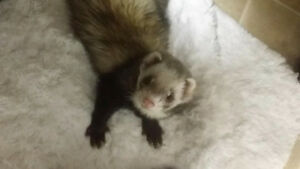 Ferret Re-Homing Available