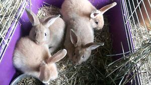 Flemish new zeland rabbits