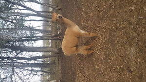 Double registered yearling male alpaca