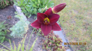 PERENIALS  . . .  Barberry Consair Daylily