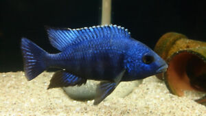 Placidochromis Phenochilus Tanzanie Sapphire