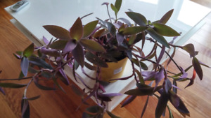 Large purple heart and poinsettia house plant