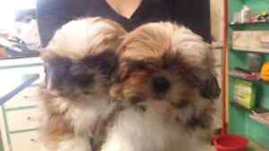 2 Tri-color Shih Tzu's 8 weeks old